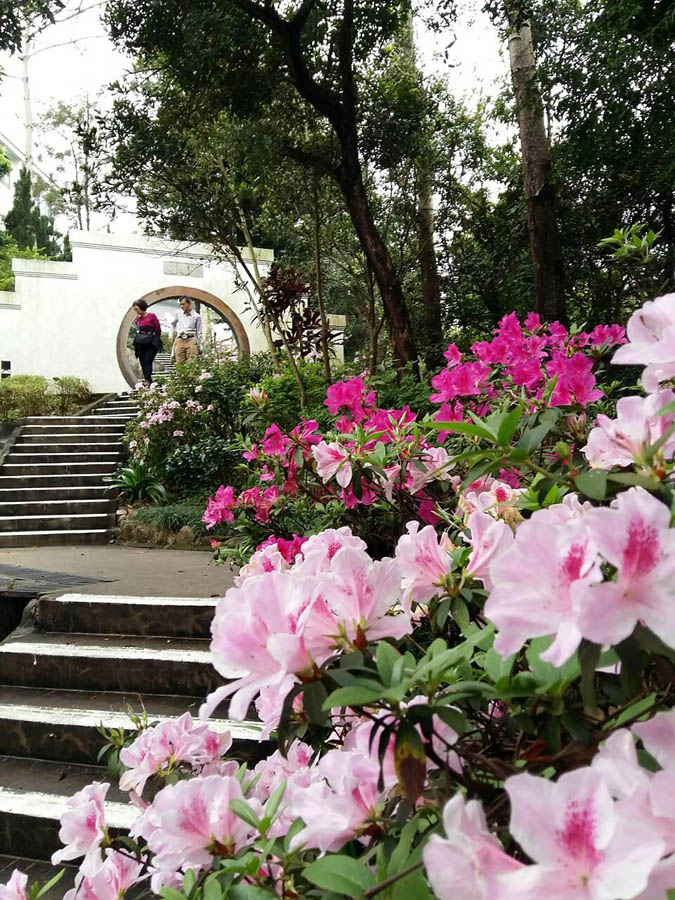 De 120 trappstegen från min bostad till seminariet är inte bara nyttiga för kroppen utan är också en fröjd för ögat. Just nu är det rhododendron och persikoblom som glöder.