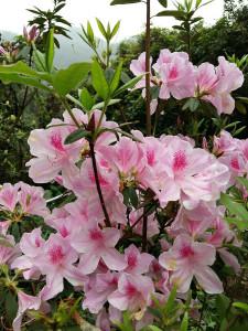 Rhododendron i full prakt!